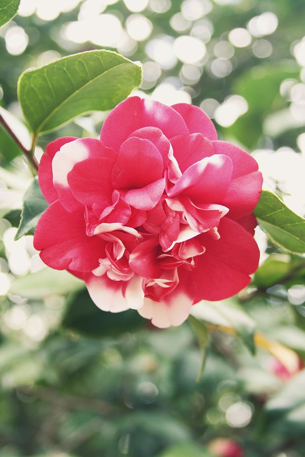 We bought a cutting of this type of Camelia a few weeks back for my mother. Will plant it soon.
