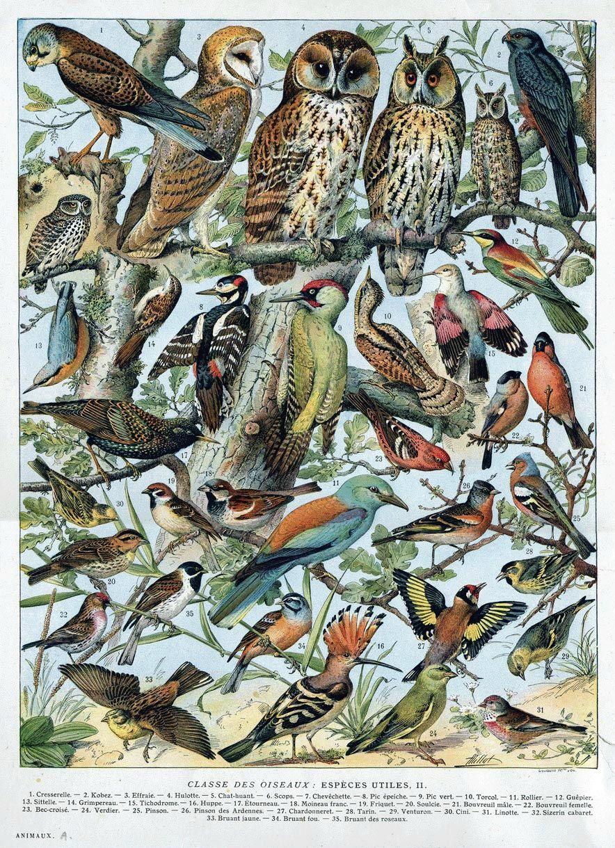 Classe Des Oiseaux Especes Utiles Ii L Air Du Temps De L Encre Des Fees Impressions D Oiseaux Art Animalier Oiseaux Vintage
