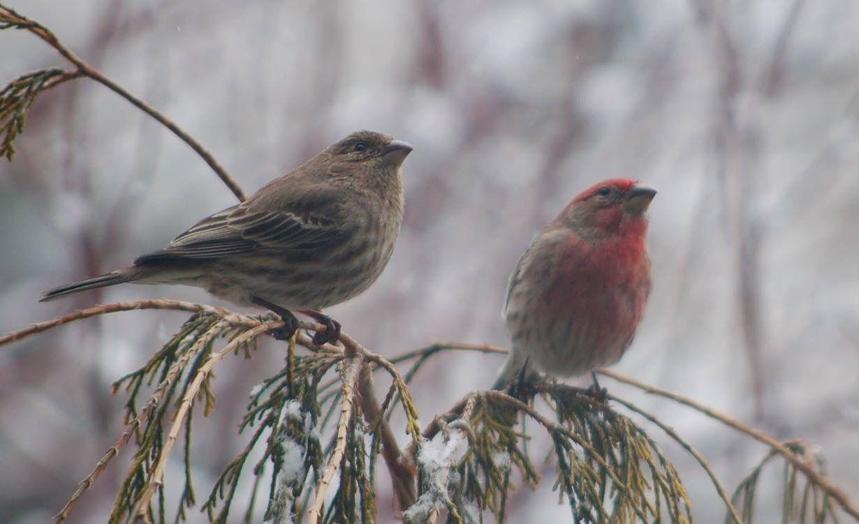 female and male house finches backyard birds pinterest bird