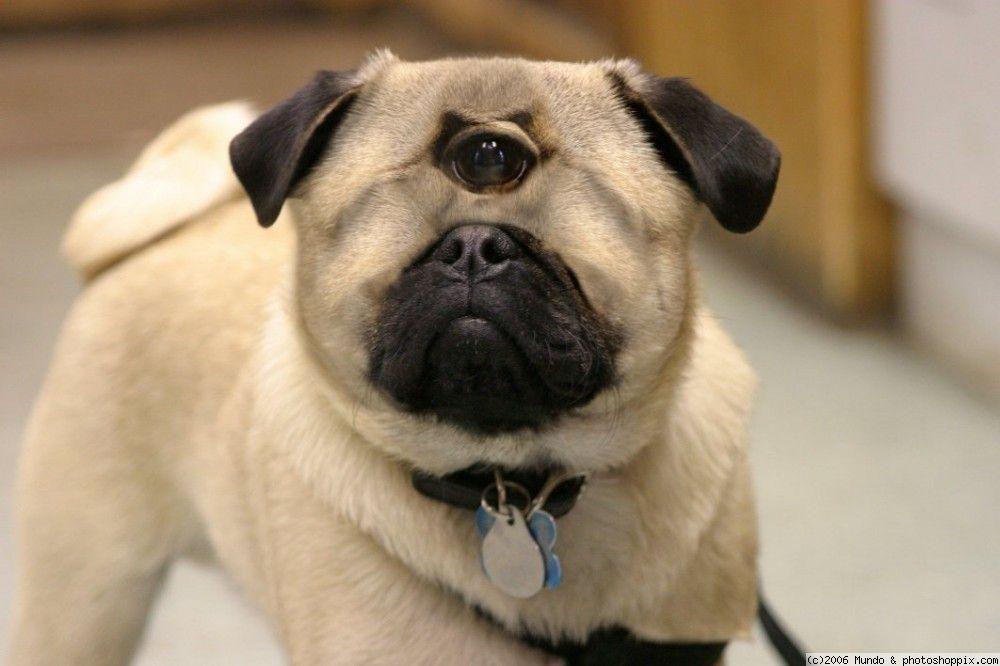 Pug Cyclops Mix With Images Pugs Pug Dog Pug Puppies