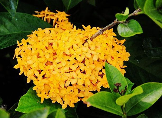 Mini Ixora Plant Yellow Planting Flowers Plants Fruit Plants