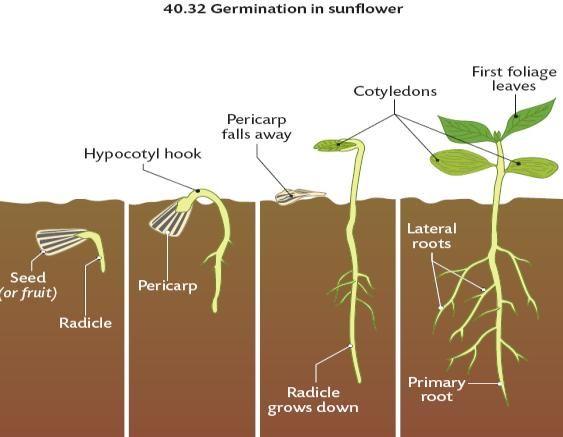 Seed germination animation