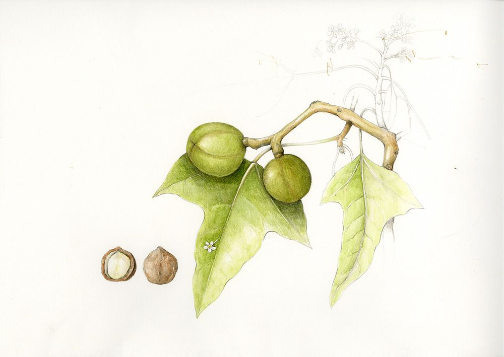 Kukui/Candlenut Tree