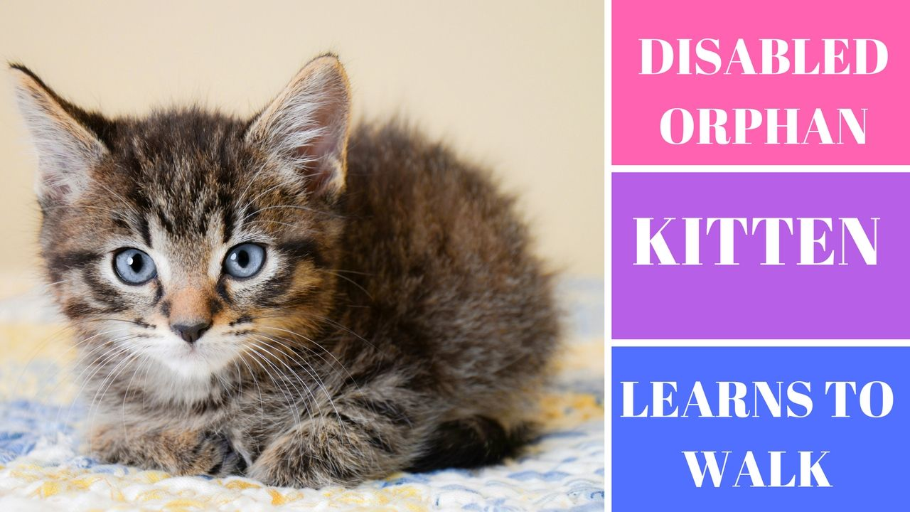 Video Showing An Orphan Disabled Kitten Learning To Walk Kitten Orphan Find Pets