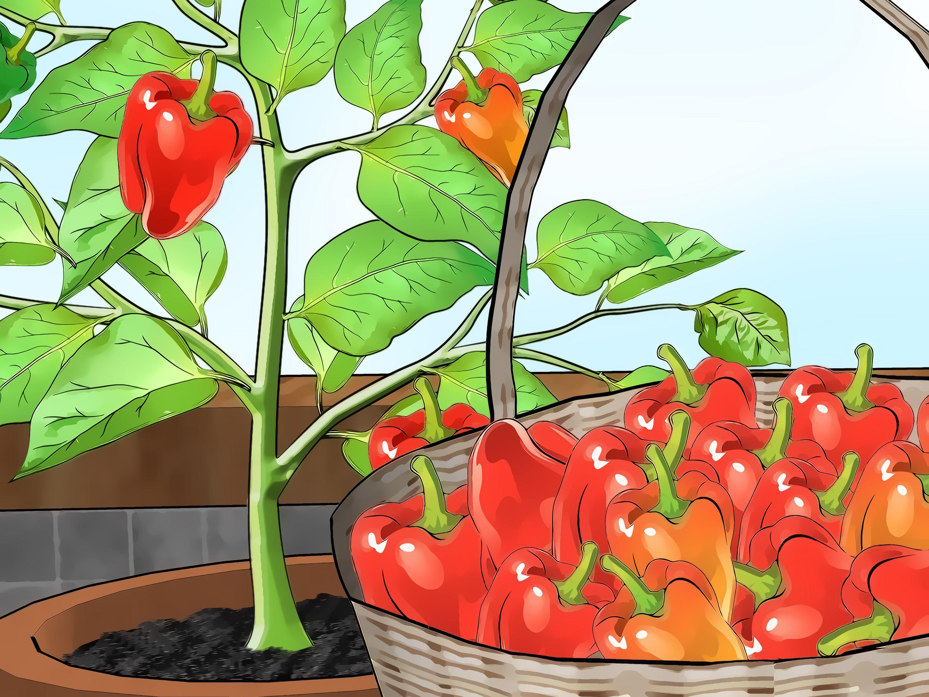 Grow Bell Peppers Indoors Indoor Vegetable Gardening 640 x 480