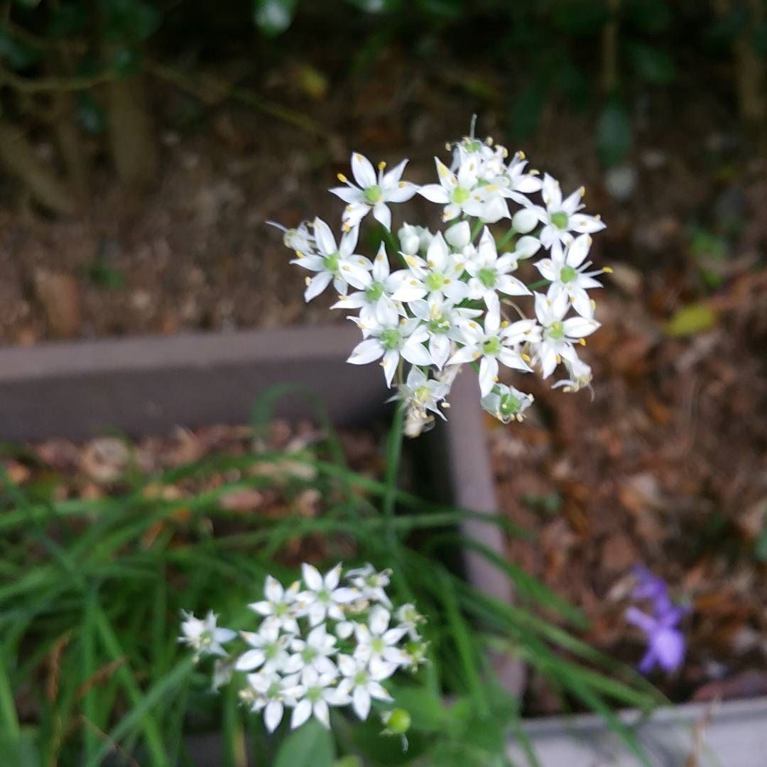 Whites Flowers In The Garden White Flower Flowerstagram By