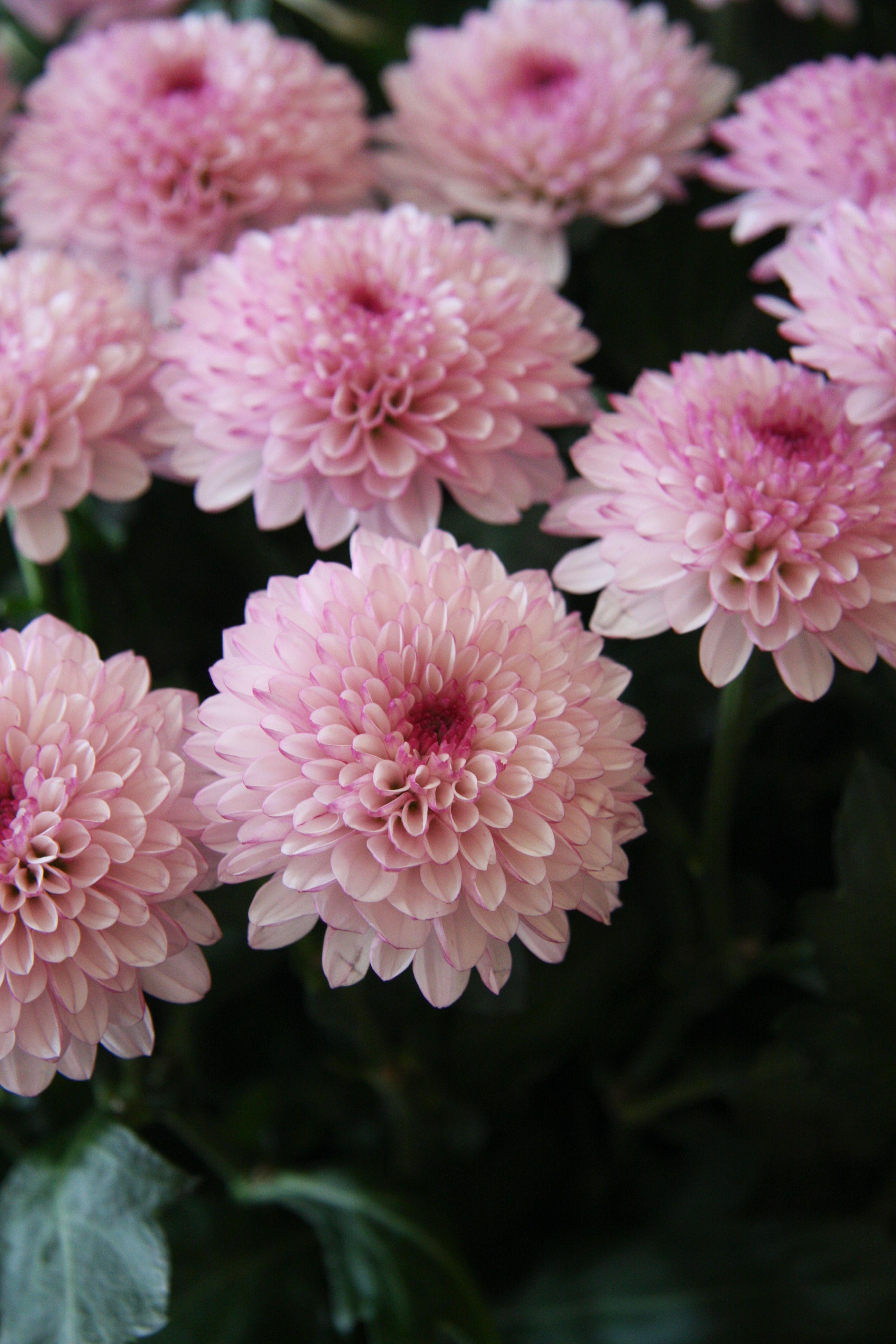 Chrysanthemum lollipop tattoos pinterest chrysanthemums