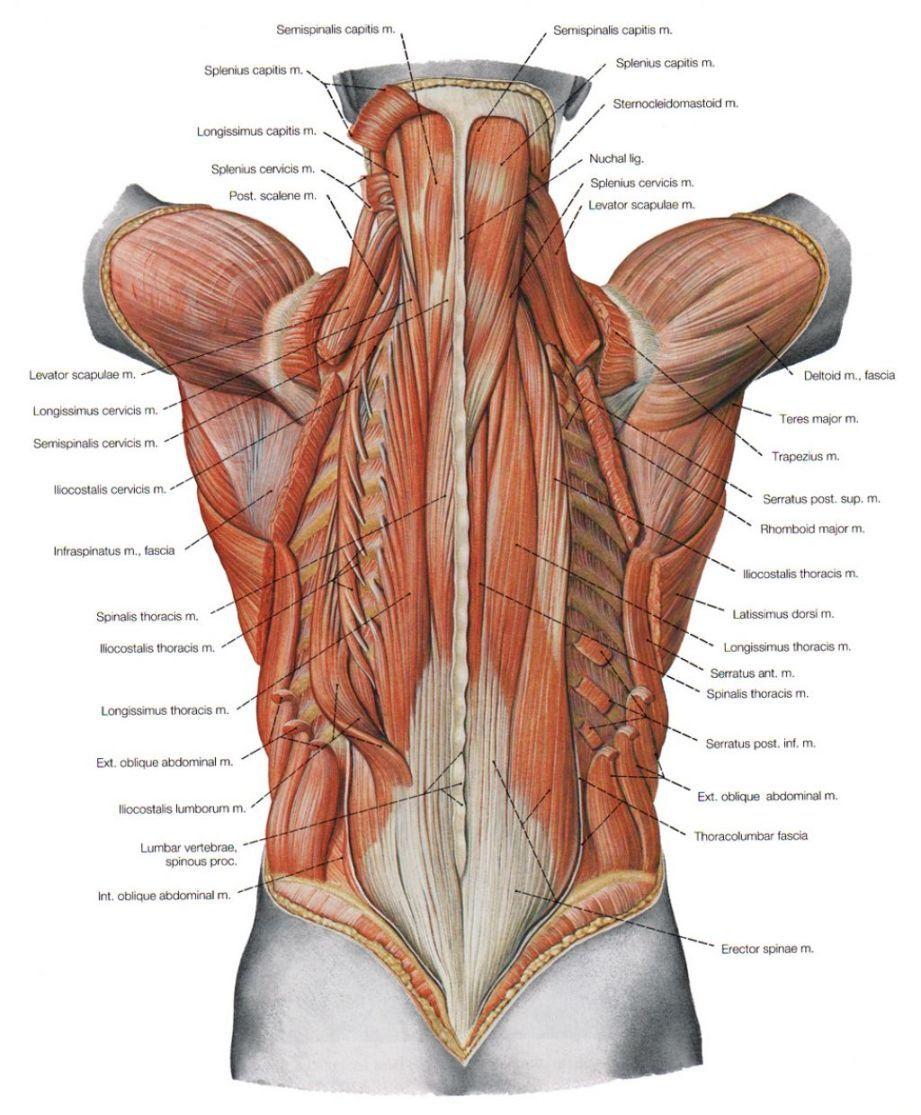 Anatomy Bones Study Guide Anatomy Bones Study Guide Anatomy Of Human