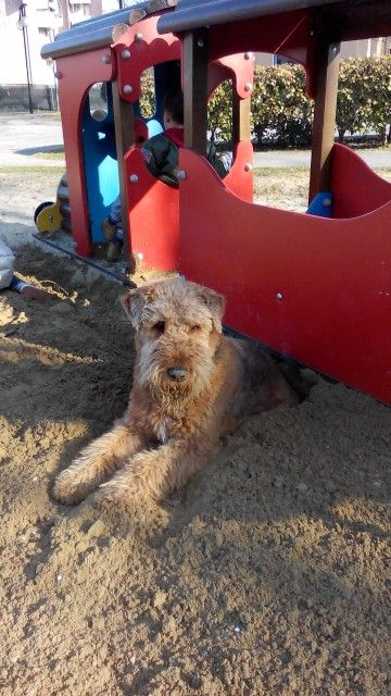 Airedale my Gustav