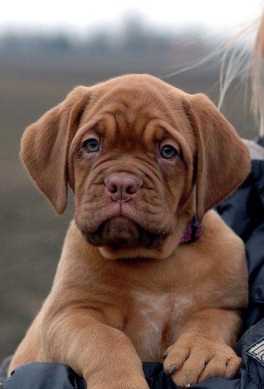 7c05580c1eb8d8093f8e6bbffc8be5e3 Jpg 537 790 French Mastiff Puppies Bull Mastiff Dogs Mastiff Puppies