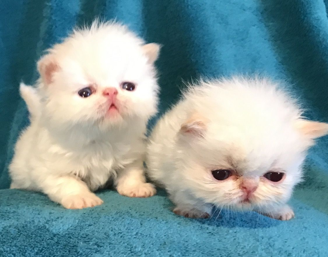 persian and himalayan kittens New Jersey http//www