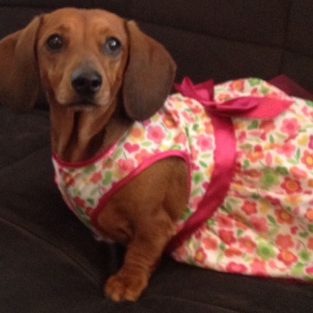 Cutest Weiner Dog All Dressed Up For Easter Dachshund Love
