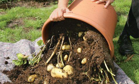 die besten 25 kartoffeln anbauen ideen auf pinterest gr ne kartoffeln kartoffeln pflanzen. Black Bedroom Furniture Sets. Home Design Ideas