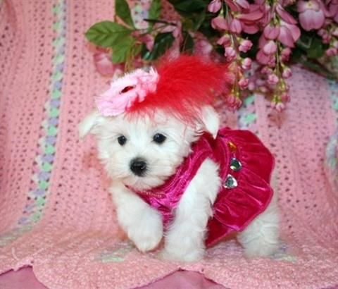 Teacup Maltese Puppy For Sale In Texas Maltese Puppy Teacup
