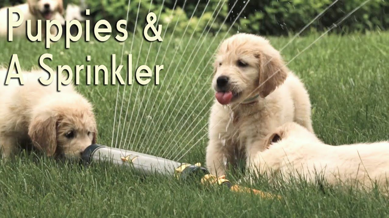 21 Golden Retriever Puppies Encounter A Sprinkler For The First