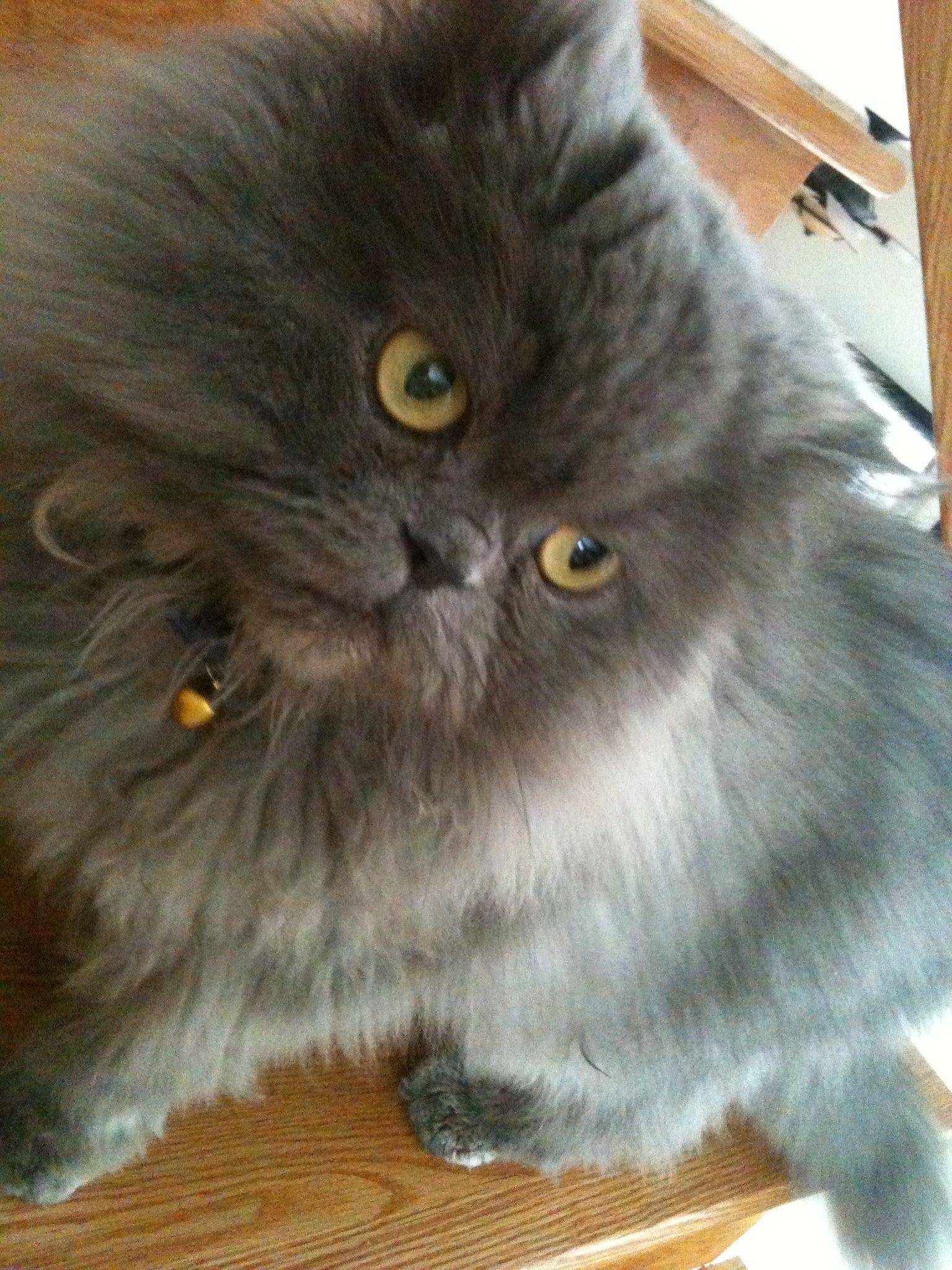 Persian Blue Cat Bluepersiancat Guizmo Persian Cat Cats And Kittens Beautiful Cat