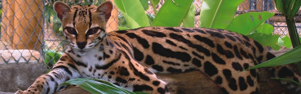 Name And Pics Of Spotted Wild Cats Wild Cats Unknown Wild Cat