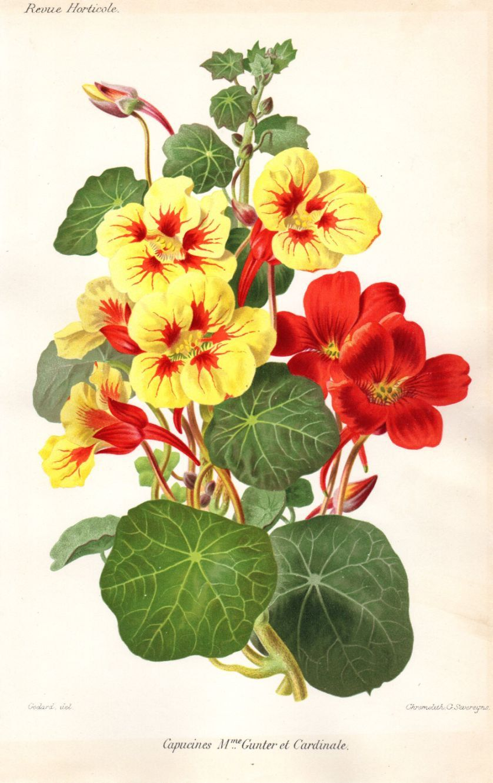 1883 Antique Botanical Print Capucines