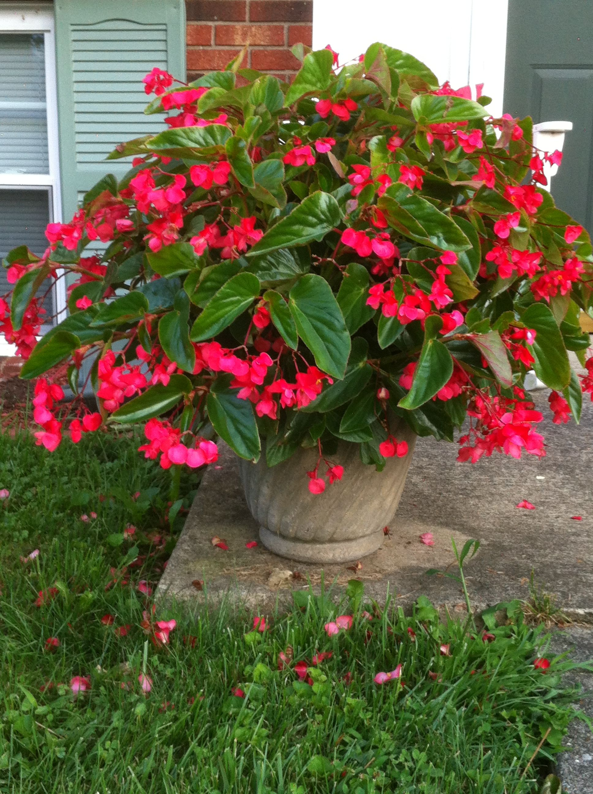 Dragonwing Begonias Like Partial To Full Shade Are So Easy To Care For Just Don T Let Them Sit Container Gardening Flowers Summer Flowers Garden Shade Plants