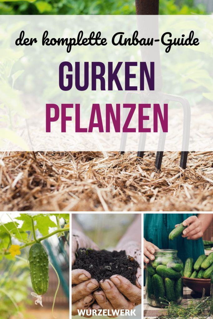 Gurken pflanzen, anbauen und ernten – die komplette Anleitung! – Wurzelwerk