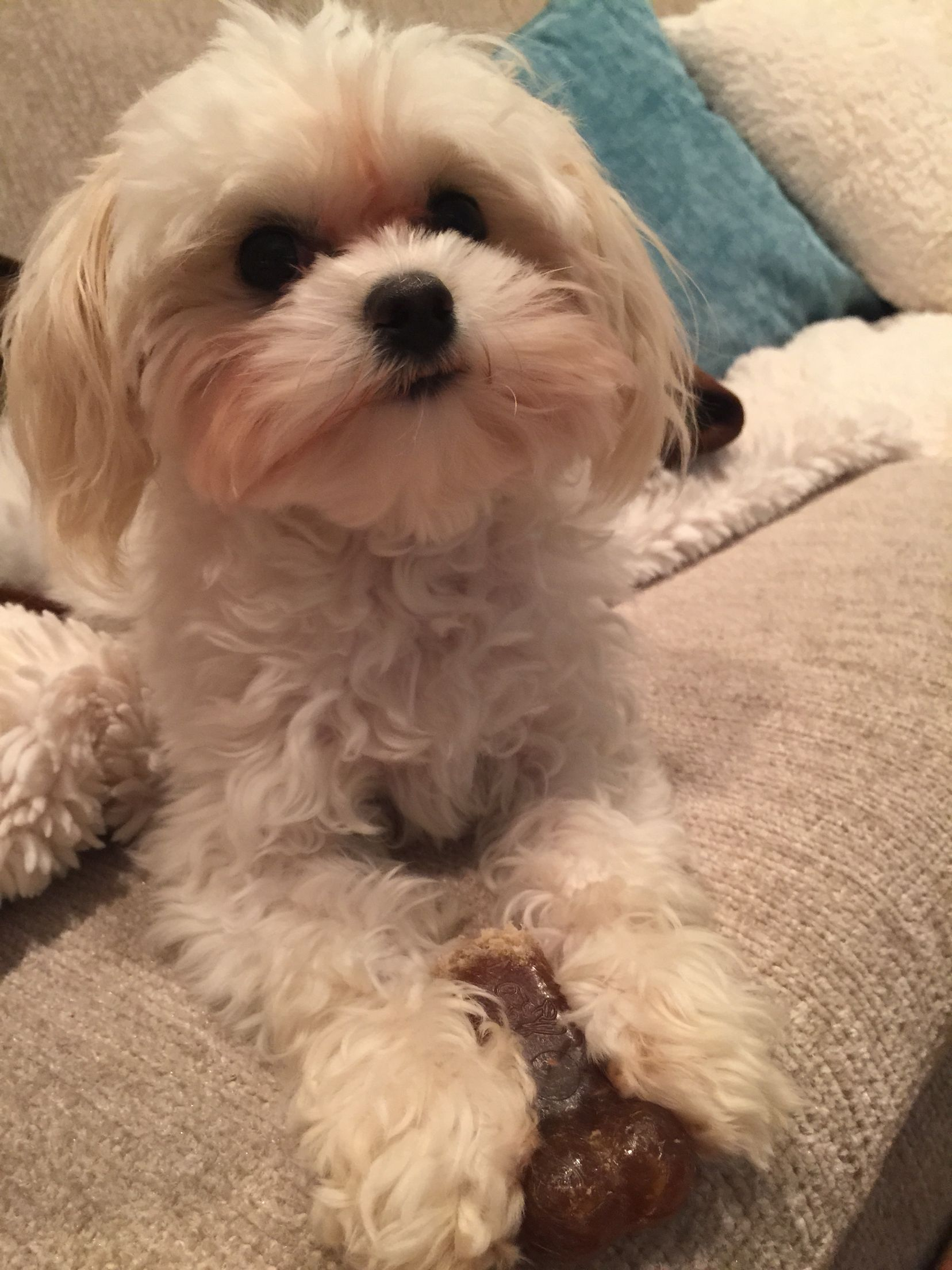 Maltipoos are the sweetest doggies ever! Maltipoo, Doggy