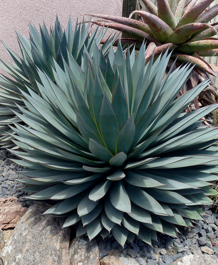 Show Details For Live Blue Glow Agave Aka Agave Blue Glow Succulent Plant Fit 5 Gallon Pot Agave Blue Glow Agave Plant Plants