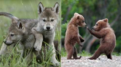 Wolf Pups And Bear Cubs Cute No Matter The Species Cute