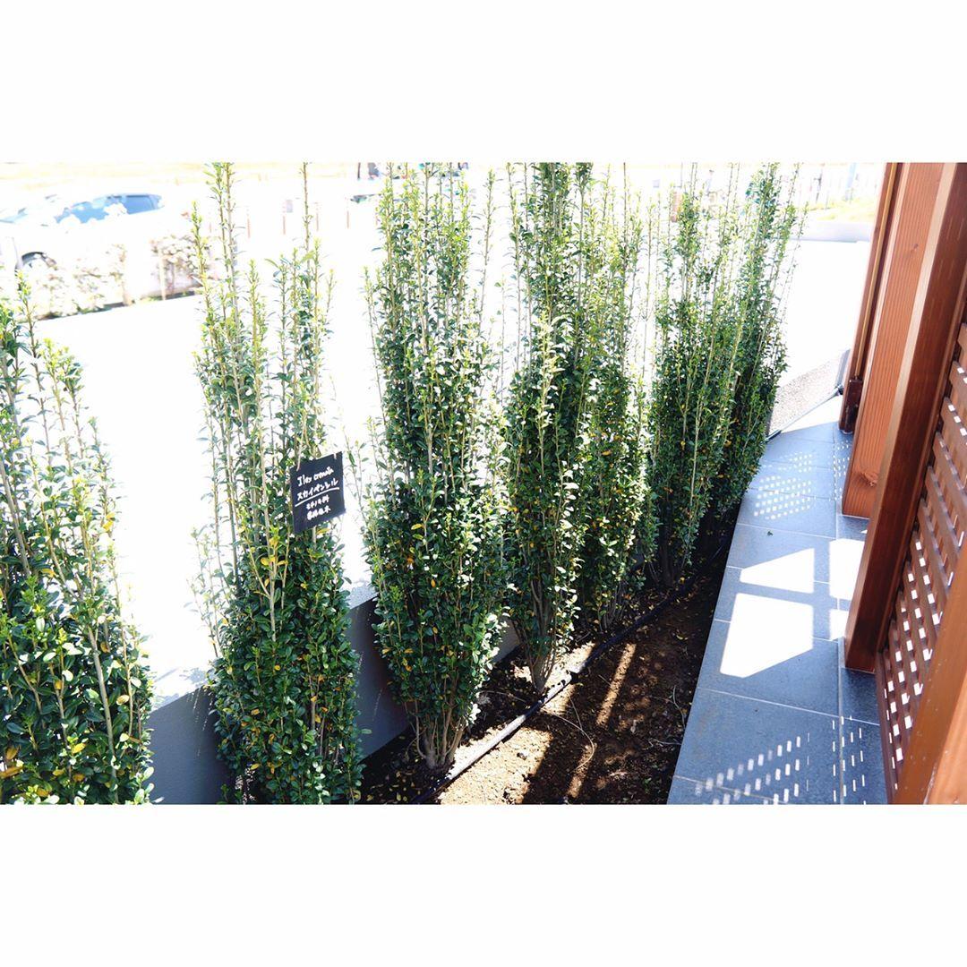 生垣にオススメな植栽 スカイペンシル 横に広がりづらく 成長も