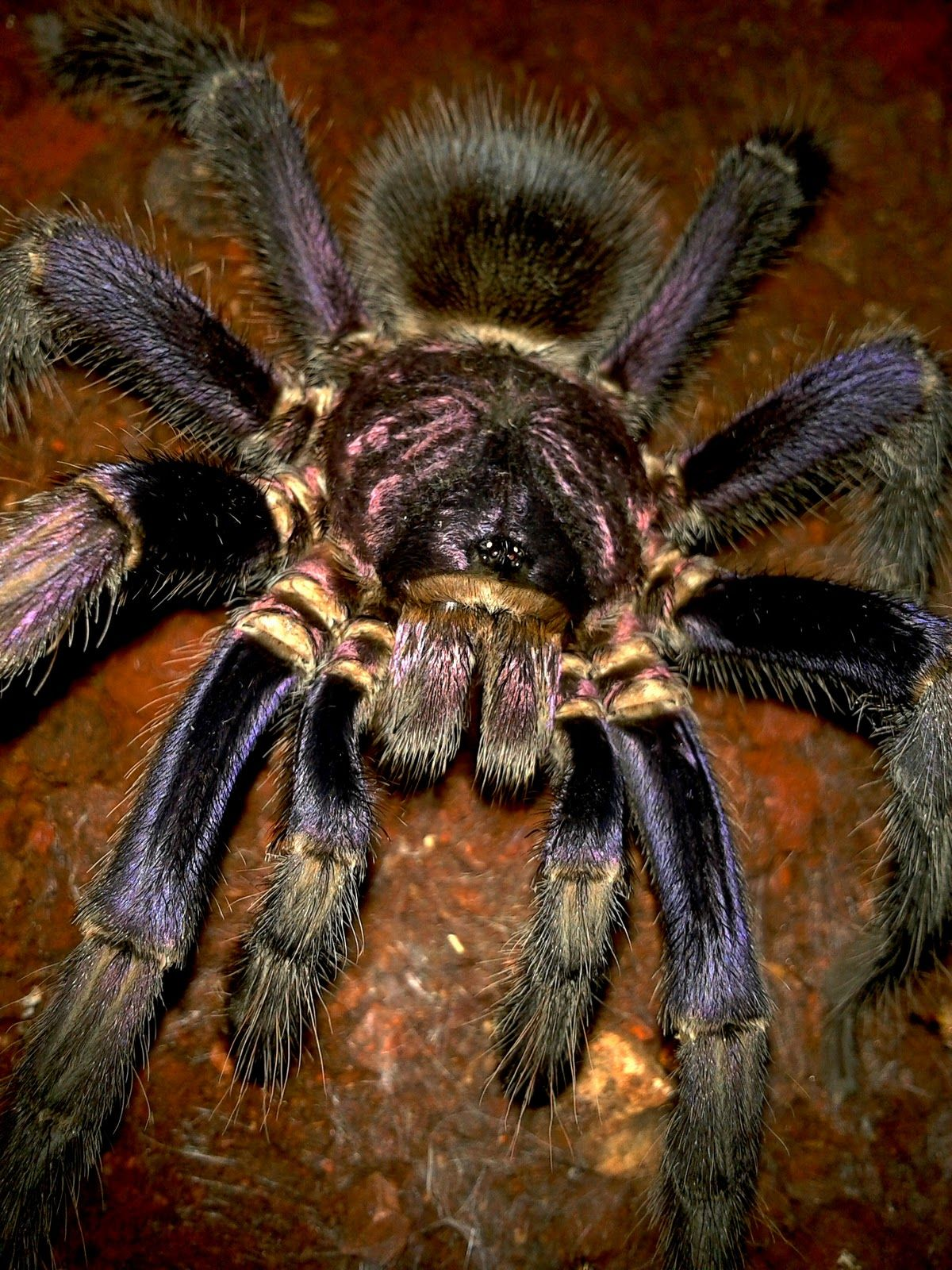 Phormictopus cancerides. Common name Haitian Brown