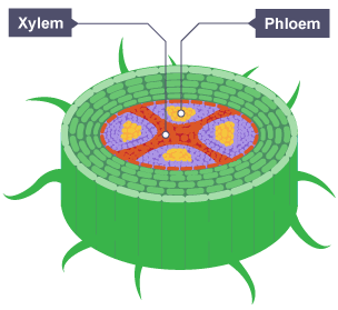 Cross section of a plant root showing a vascular bundle of xylem bbc bitesize gcse biology single science transport in plants revision 1 ccuart Gallery