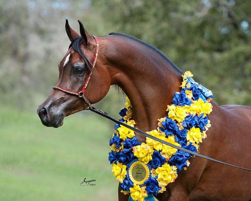 Jamillas Belle RCA, Pimlico RCA x Desperados Belle RCA by Thee Desperado bay Champion Egyptian Arabian mare. Arabians Ltd in Waco, Texas. #pimlicorca #theedesperado