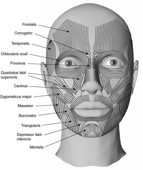Facial Muscles Diagram Labeled Archives