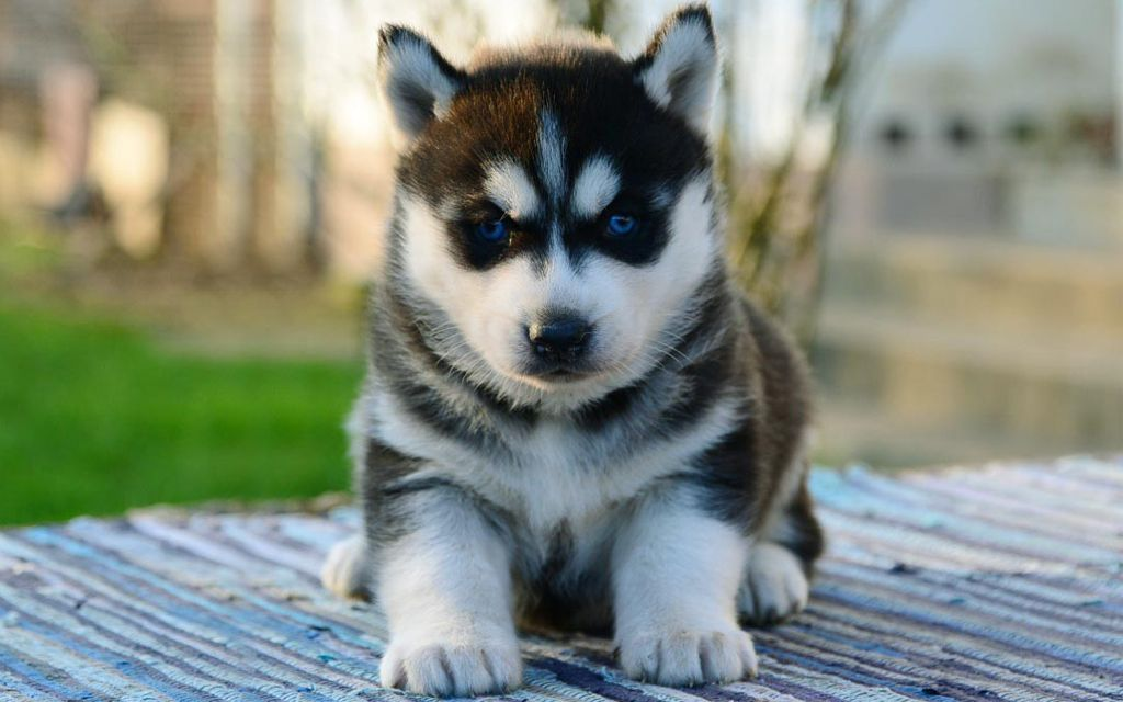 Siberian Husky Puppies Breed Information Puppies For Sale