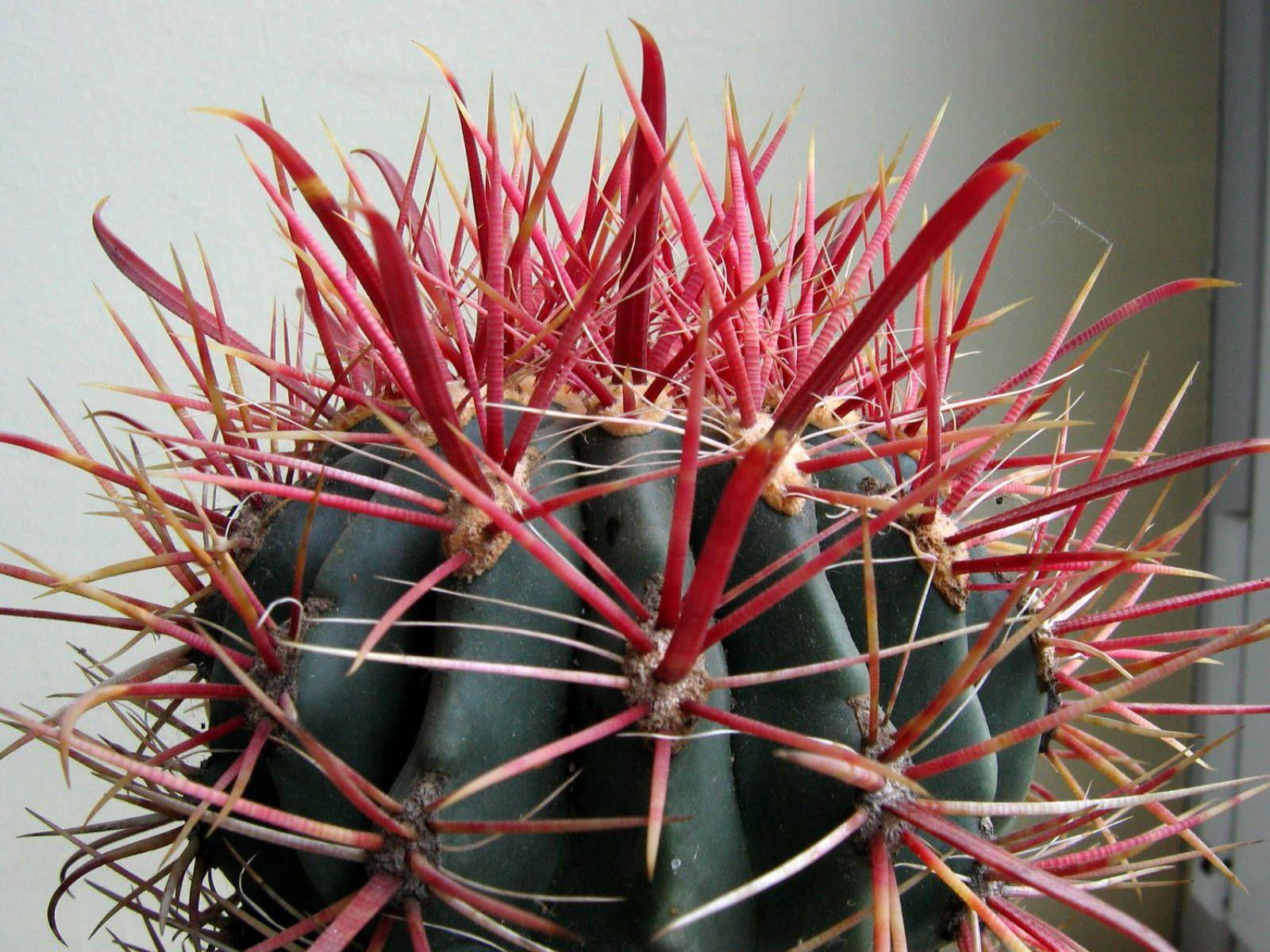 Ferocactus gracilis cactus fire barrel 0103b cactus for Vivero feroxcactus