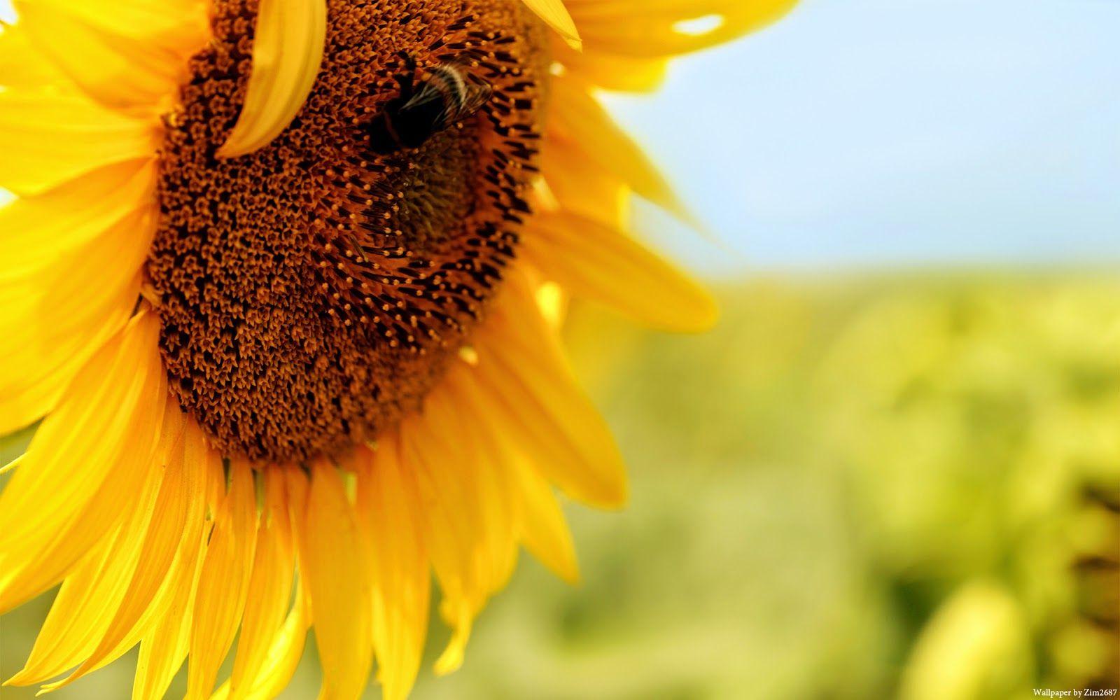 خلفية الاسبوع زهرة عباد الشمس 48 مداد الجليد Sunflower Photography Dried Flower Arrangements Sunflower