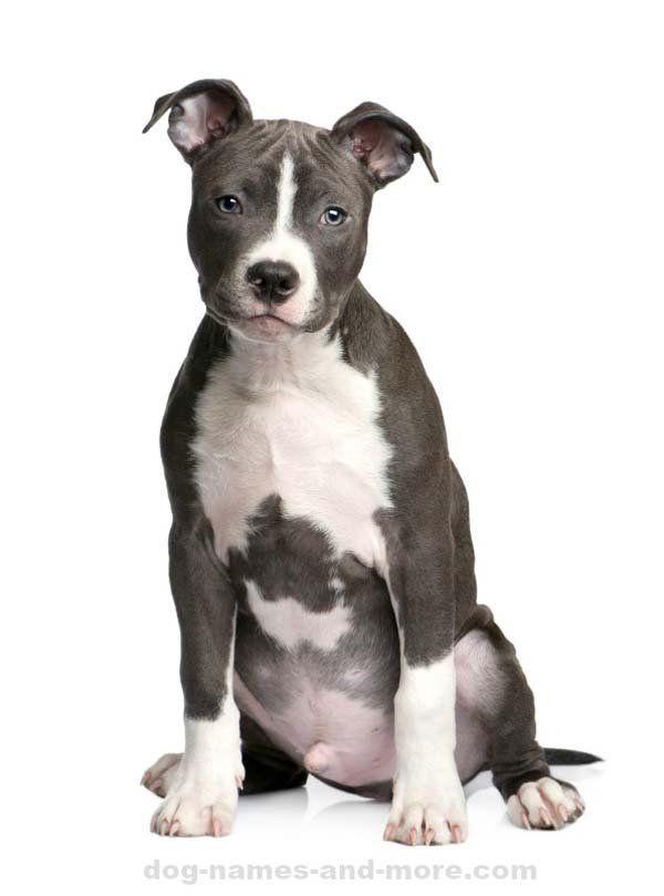 pit bull names best male and female pitbull names pit bull love