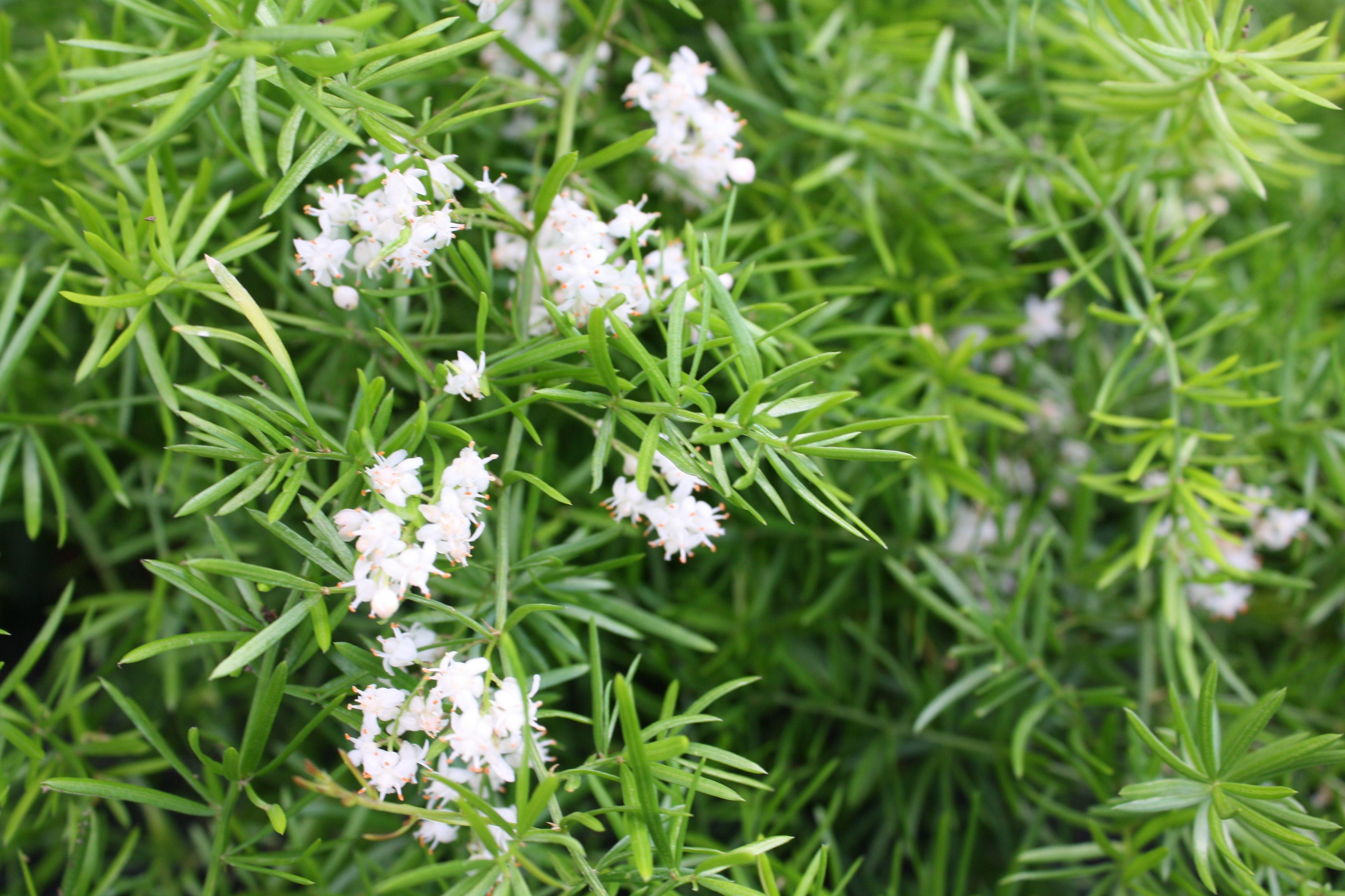 Asparagus Fern Asparagus Fern Asparagus Plant Scent Garden