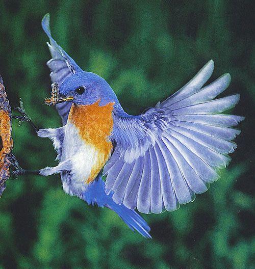 eastern bluebird flying