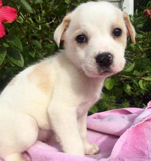 Adopt Tundra On Retriever Dog Adoption Dogs