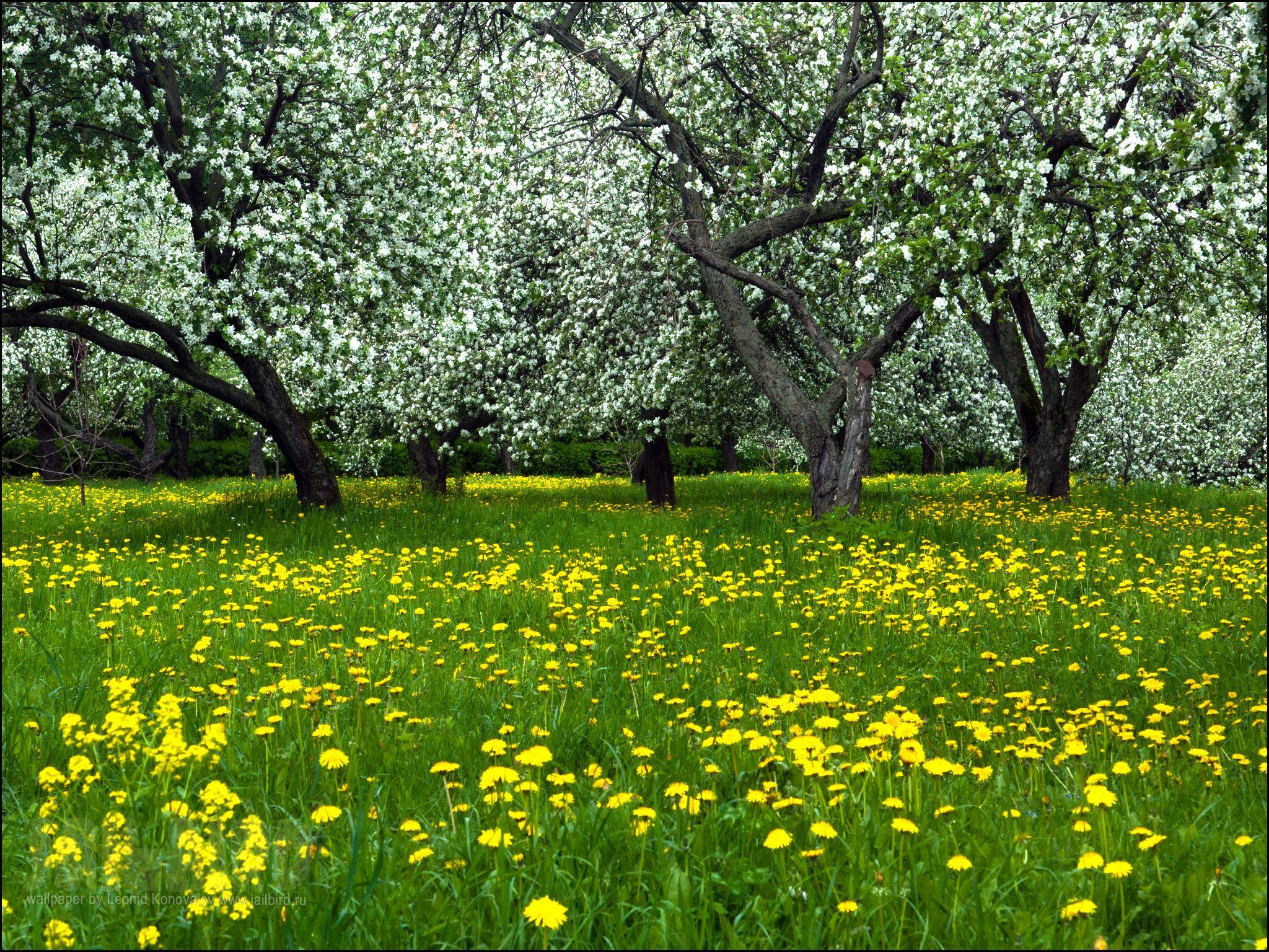 можете картинки яблоневого сада цветущего электронного замка поднимается