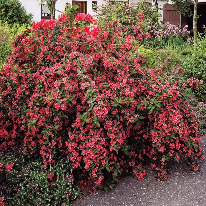 Weigela bristol ruby 1 arbrisseau achetez en ligne sur internet commander vite jardin for Commander fleurs sur internet
