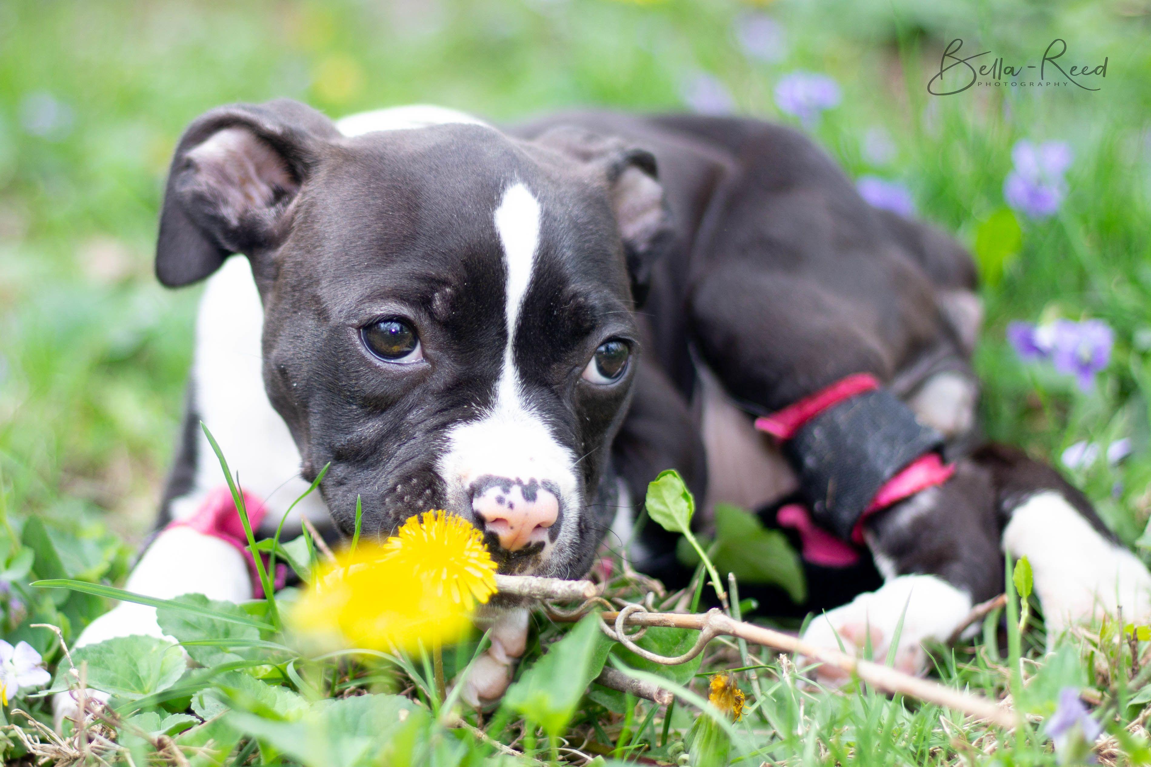 Adopt Ariel On Pitbull Terrier Adoption Bull Terrier Dog