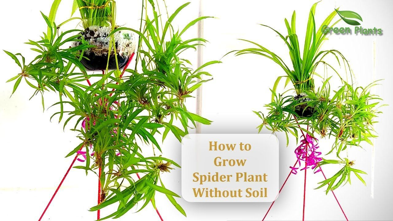 Wie man eine Spinnenpflanze ohne Boden züchtet | Spinnenpflanzen im Wasser | Spinnenpflanze Indoor // GRÜNE PFLANZEN#böden #eine #grüne #indoor #man #ohne #pflanzen #spinnenpflanze #spinnenpflanzen #wasser #wie #züchtet