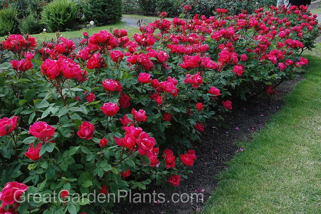 Knock out roses as a low growing hedge plant growing for Low growing plants for flower beds