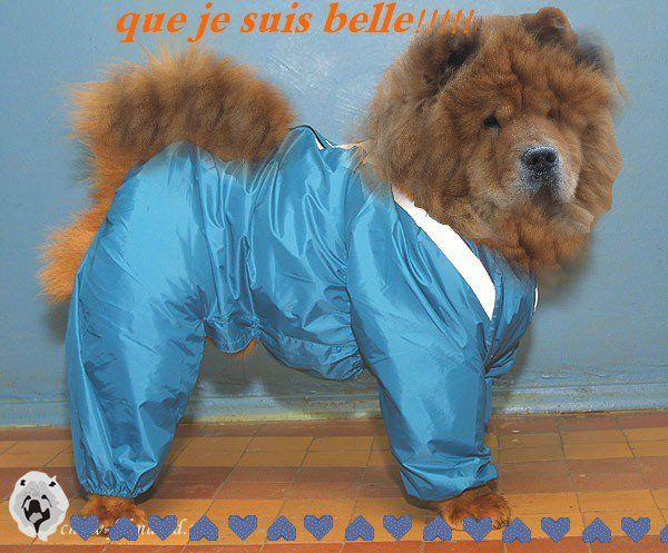 Rain Coat Chow Chow Dog Puppy Chow Chow Dogs Cute Puppies