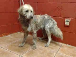 KILLED ON HER 6TH DAY BECAUSE OF HER MANGE.  I don't have a name yet and I'm an approximately 1 year old female cocker span. I am not yet spayed. I have been at the Downey Animal Care Center since December 15, 2014. I will be available on December 19, 2014. You can visit me at my temporary home at D722. https://www.facebook.com/photo.php?fbid=776988415714826&set=a.768780626535605.1073741850.100002110236304&type=3&theater