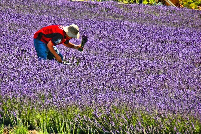 Keys Creek Lavender Farm Wine Country California Temecula Wineries San Diego To Do