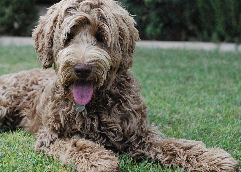 Pin by Hayley Harrison on Dogs in 2020 Australian