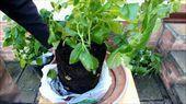 How to grow more potatoes using shopping bags for ... #Bags #Grow #Potatoes #shopping #growingpotatoes How to grow more potatoes using shopping bags for ...  #Bags #Grow #Potatoes #shopping #growingpotatoes