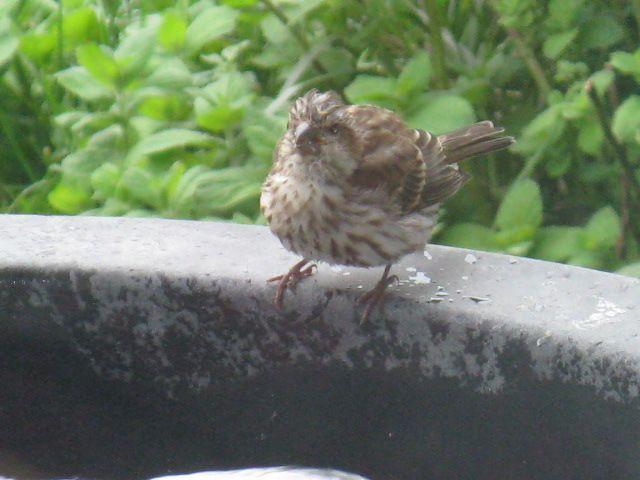 Sparky the Sparrow bathing by the bird feeder, Londonderry Inn, Vermont